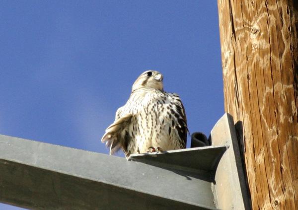 Falconiformes. sub Falconidae - sub fam Falconinae - gênero Falco - Página 2 PrairieFalconWR1