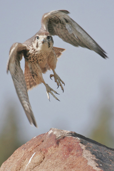 Falconiformes. sub Falconidae - sub fam Falconinae - gênero Falco - Página 2 PrairieFalconAH2