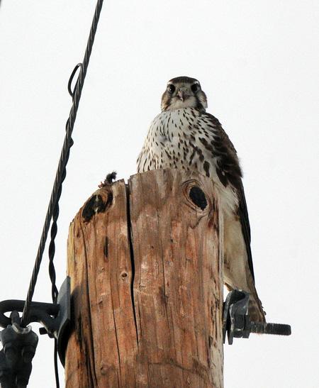 Falconiformes. sub Falconidae - sub fam Falconinae - gênero Falco - Página 2 PrairieFalconRH4
