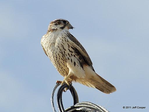 Falconiformes. sub Falconidae - sub fam Falconinae - gênero Falco - Página 2 PrairieFalconJCo3