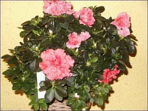 ~Floriiii~ - Page 5 Azalee
