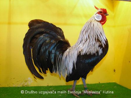 Perad - Šampioni izložbe malih životinja Kutina 2014 Bantam