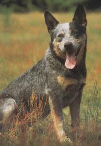 Australian cattle dog (Australski govedar) Australski-stocarski-pas-2