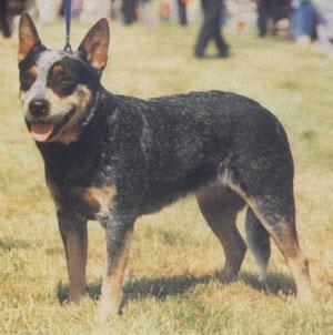 Australian cattle dog (Australski govedar) Australski-stocarski-pas