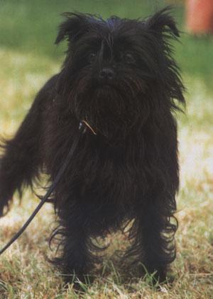 Majmunski pinč Majmunski-pinc