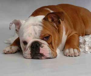 Buldog Bulldog7