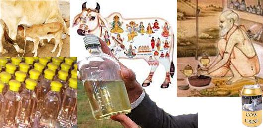 urine des chameaux science ou mythe Cow-urine-qualities