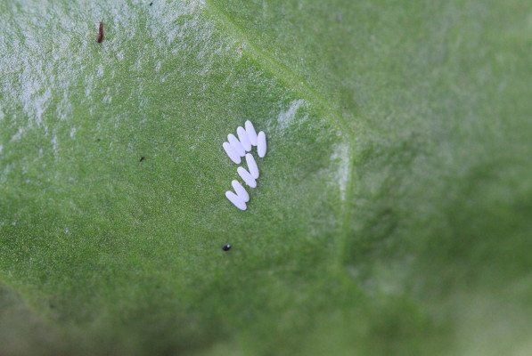 something bad with the spinach Leaf-miner-eggs