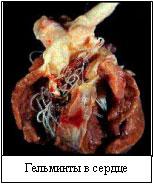 Дирофиляриоз у собак и кошек Heartgelm