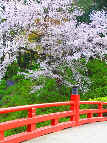 أشجار الساكورا  Hanami_06