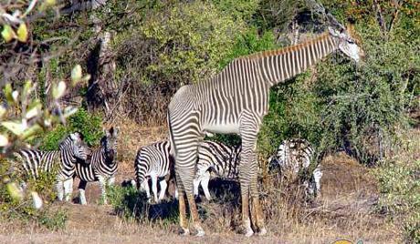 un animal -Ajonc - le 28 septembre trouvé par Suri Zebres