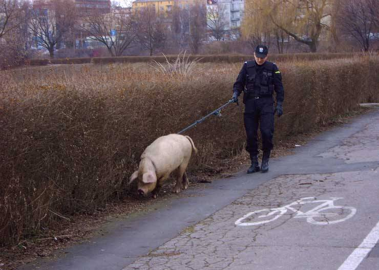 Police limousine .. Policier-cochon