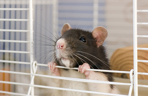 Calculateur d'espace nécessaire pour rats Cage-rat