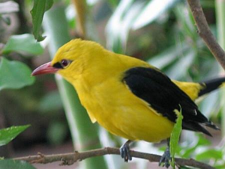 un ptit oiseau - ajonc - 30 mars trouvé par Martin Paradis1-vip-blog-com-142746LoriotchrdchrchrEurope