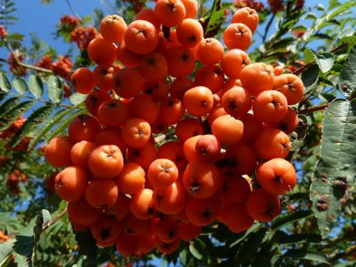 Sureau rouge ou sorbier des oiseaux M-sorbier-des-oiseaux-sorbus-aucuparia--2-2-visoflora-87076