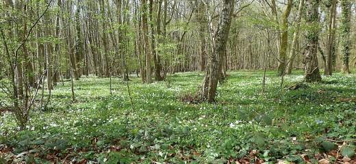 Les champignons comestibles pour débutants au fil des saisons (Belgique) M-tapis-d-anemone-sylvie-visoflora-81977
