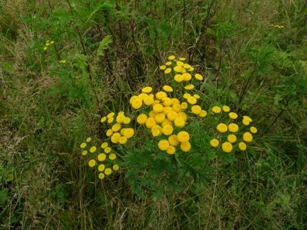 Description détaillée de la fleur de tanaisie Med-Visoflora-herbe-aux-vers-1203