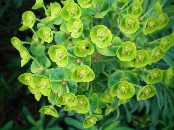 Un végétal- Cathy - 26 décembre - trouvé par Martine. Med-fleurs-de-l-euphorbe-vues-de-pres-visoflora-2750