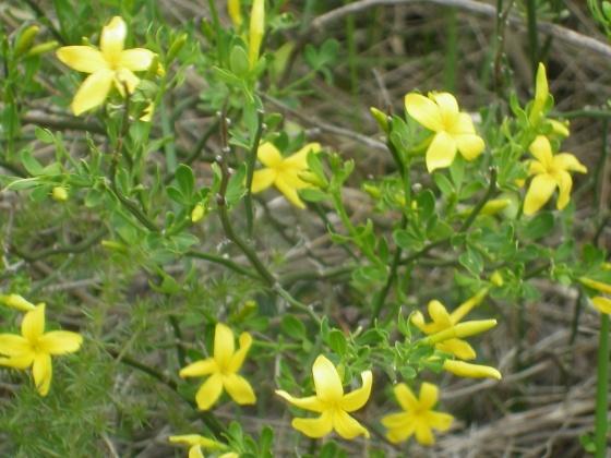 une plante - ajonc  - 18 aout trouvée par Martine Med-jasmin-jaune-visoflora-29201