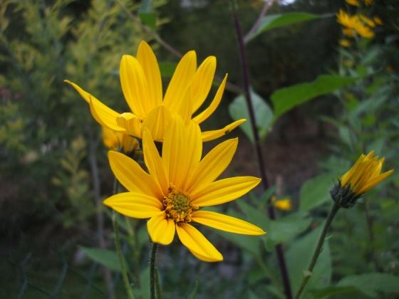 Tshuaj NTSUAB - Page 2 Med-le-topinambour---helianthus-tuberosus-visoflora-18399