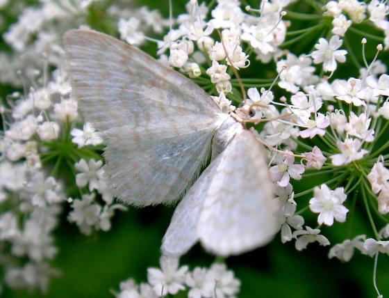 Avatars Printemps - Page 2 Med-papillon-blanc-visoflora-15355