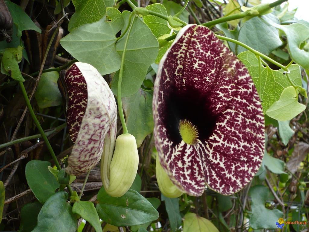 Aristolochia littoralis Aristolochia-littoralis-visoflora-2696