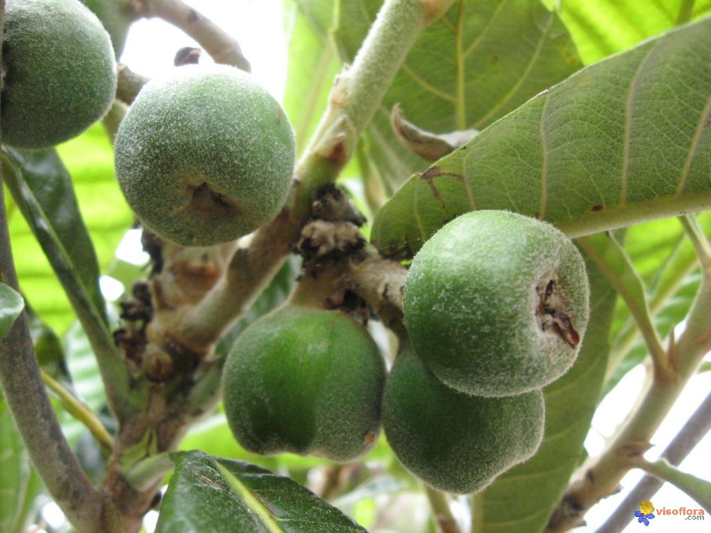 Qui connait  cet  arbre ? Fruits-du-neflier-encore-verts-visoflora-11958