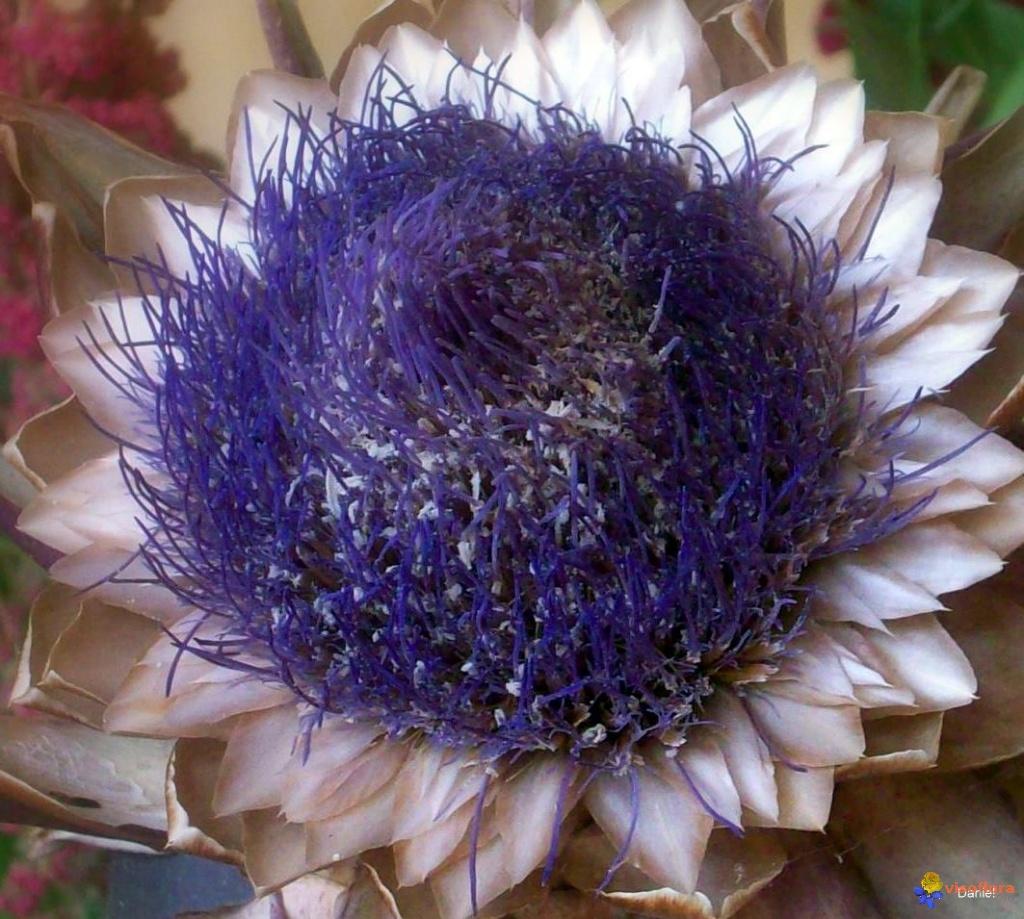 Esperluette Un-vrai-coeur-d-artichaut-visoflora-6230