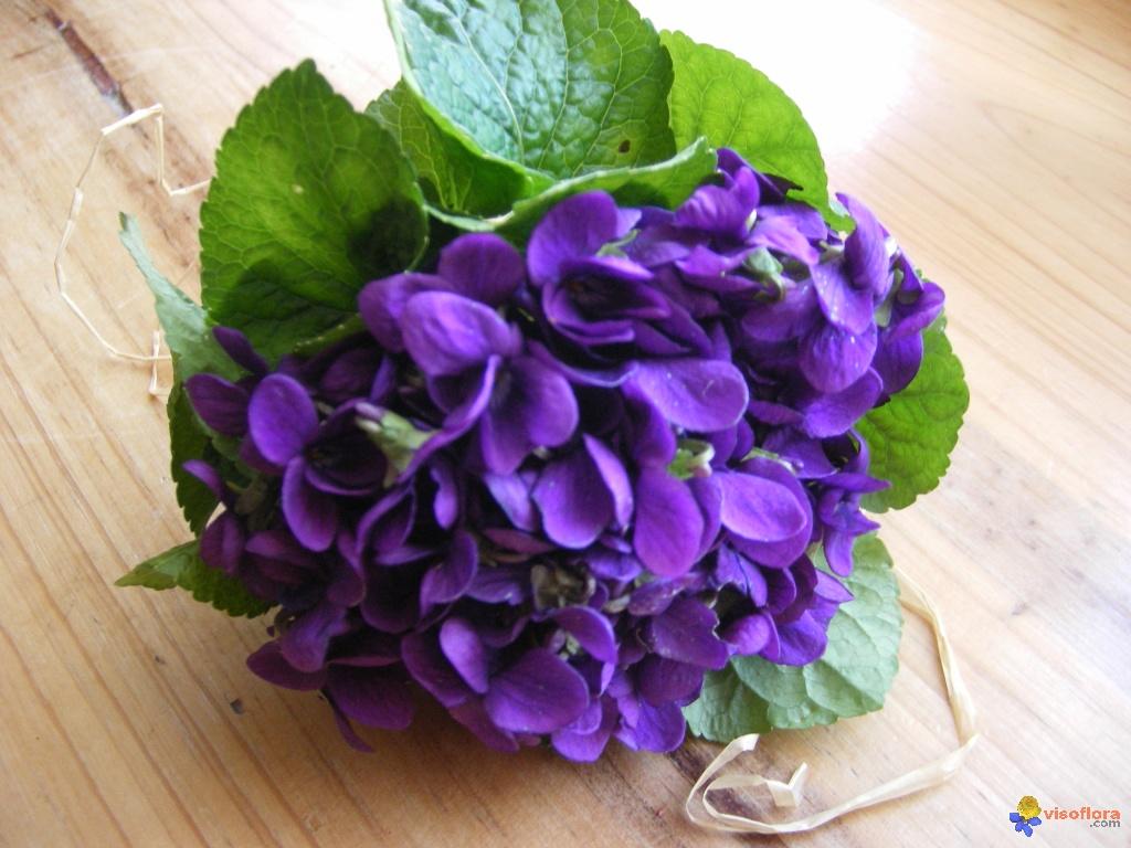 rêve 2..la violette Violettes-visoflora-24323