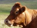 Une vie de cochon Tn-vache-visoterra-20119