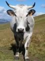 Une vie de cochon Tn-vache-visoterra-20120