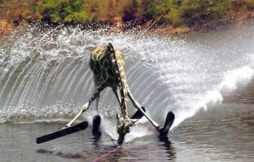 صور مضحكة جداااااااااا Giraffe