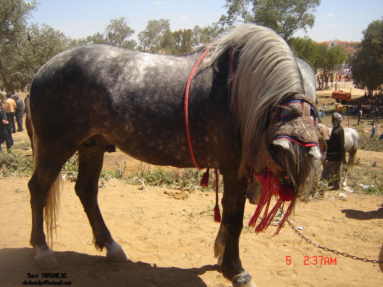 الحصان الابيض العربى  80835-photo