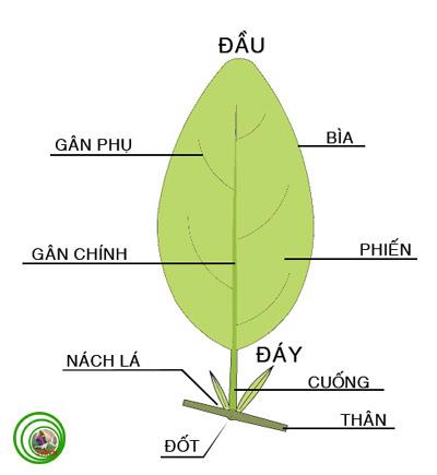 Thuật ngữ cây cảnh và cấu trúc thực vật (Phần 1)  D_la