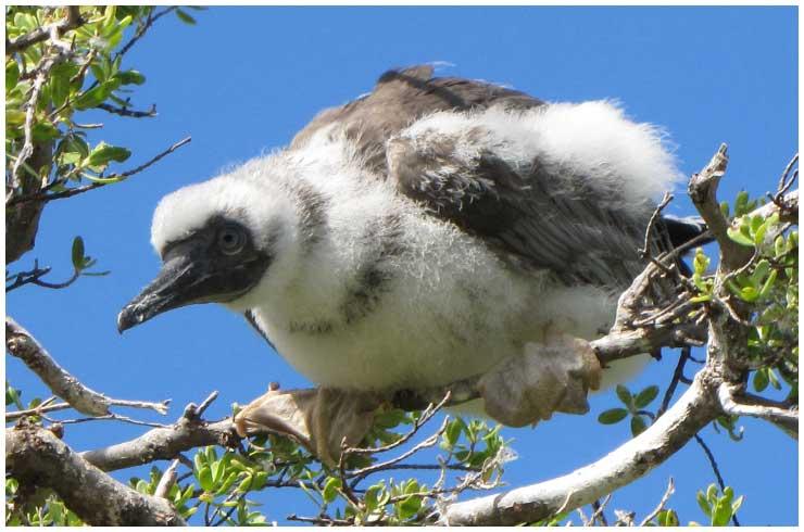 animal volant - ptit loulou - 6 novembre trouvé par Paul et Ajonc Fregate