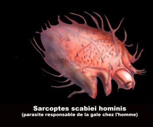 """Les """"Stupid Zèbres"""" c'est nous... - Page 6 Sarcoptes-scabiei-agent-de-la-gale"""