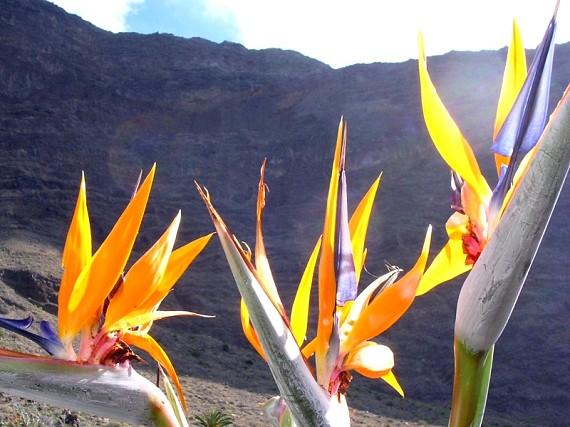 زهرة طائر الفردوس --- Bird- of- paradise flower Dscn1556a
