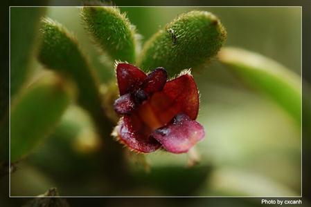 Hoa gieo tứ tuyệt 3 Trichotosia-dalatensis