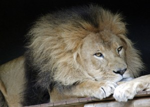 You May Wake Up… But Will You Get Out of Bed? Flickr-Sleeping-Lion-Julia-Koefender-300x213