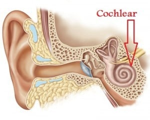 The A=432 Hz Frequency: DNA Tuning and the Bastardization of Music Cochlear-300x2391-300x239