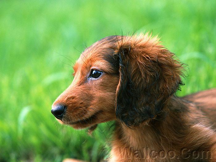 Dolgodlaki jazbečar[dakel, dachshund] Miniature_Dachshund_EA39043