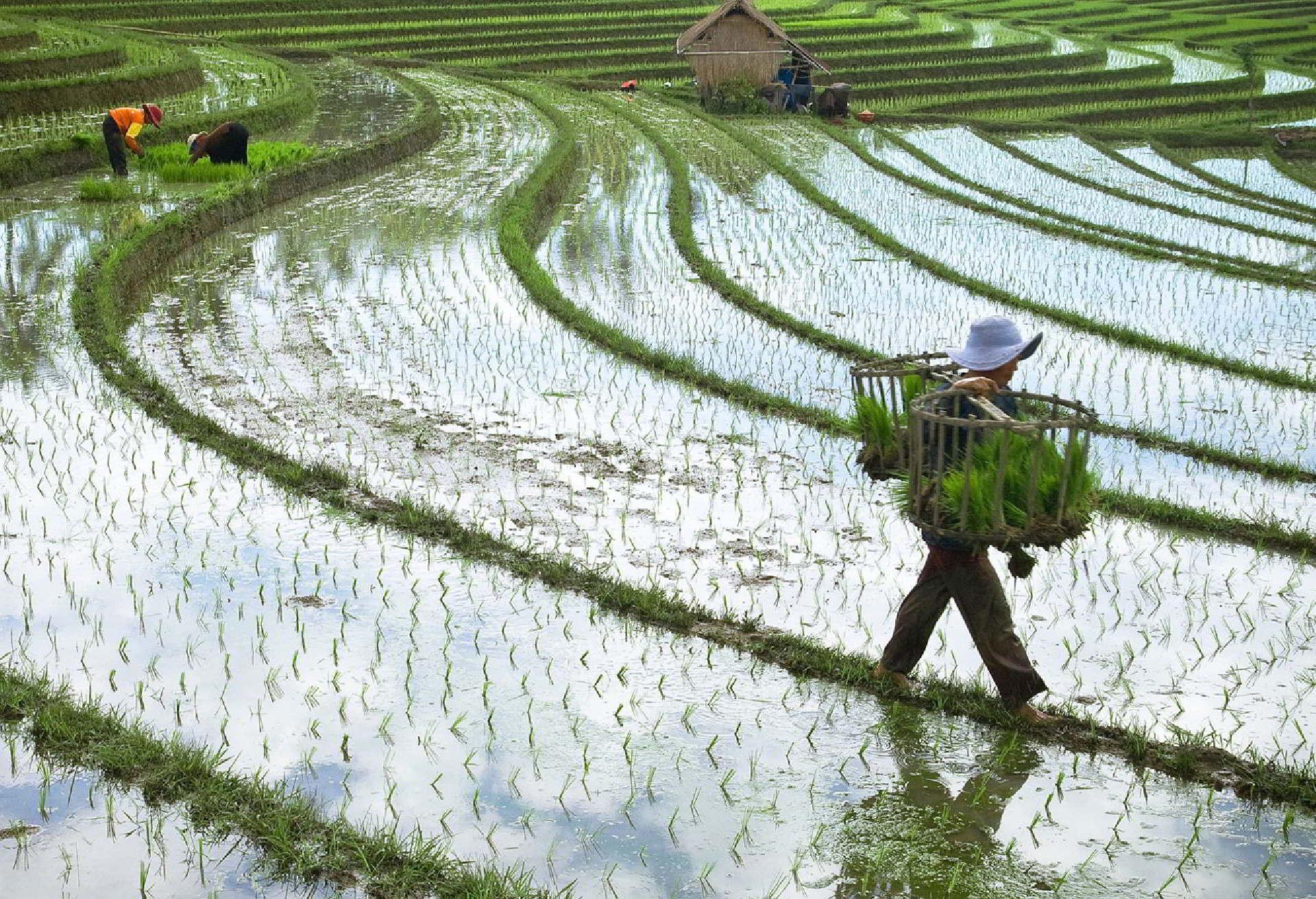 Il grande Issumbosci. Cultivo-de-arroz-940