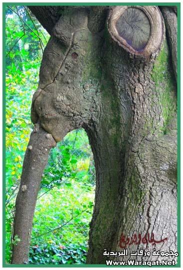 أغرب مارأيت من أشجار 3alm-alashgar15