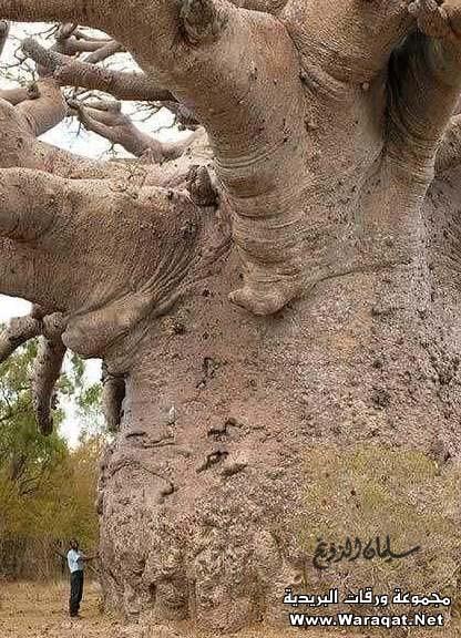 أغرب مارأيت من أشجار 3alm-alashgar30