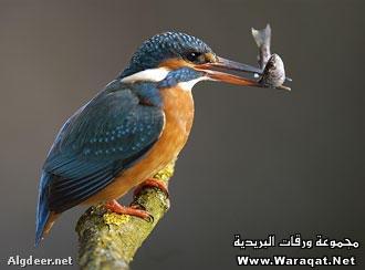 طائر الليموزية..يا سبحان الله..!!! Teer_alezeh2
