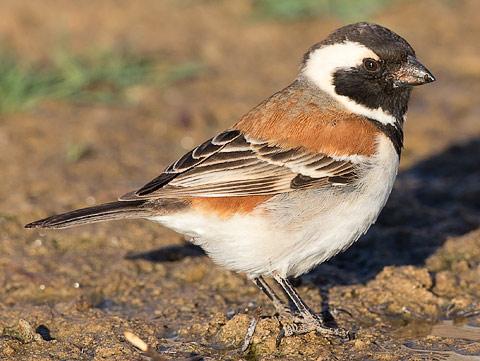 Pardais do mundo 803-Cape-Sparrow-Brandvlei-H22857