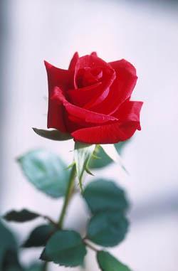 Ich Gebe Die Rose An... Rose