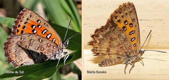 Sưu tập Bộ cánh vảy 3 - Page 19 LEP-Aloeidea-taikosama-LYCAENIDAE-Corrie-Marita