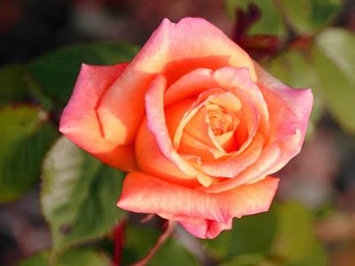 Jeudi 28 mai Rose-5