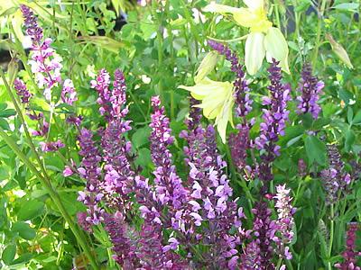 Fleurs,....fruit,.....tout ce qui se mange,...se boit....ou qui vient de la nature.......... - Page 37 Sauge